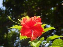 Цветок гибискуса в лесе русского Стоковое фото RF