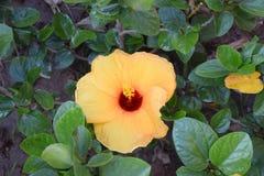 цветок гибискуса Желт-апельсина стоковое фото