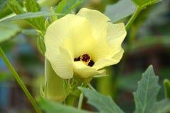 Цветок гибискуса или цветок Roselle Стоковая Фотография
