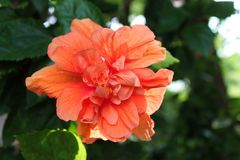 Цветок гибискуса персика тропический на парке Lumpini, Таиланде Стоковая Фотография RF