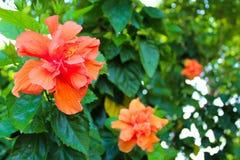 Цветок гибискуса персика тропический на парке Lumpini, Таиланде Стоковое Изображение RF