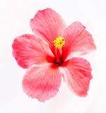 Цветок гибискуса стоковое фото rf