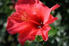Цветок гибискуса Стоковая Фотография RF