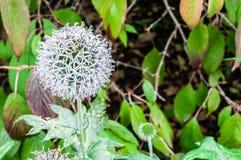 Цветок глобуса Echinops голубой Стоковое фото RF