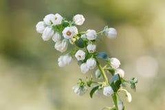 Цветок голубики стоковое изображение rf