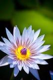 Цветок голубого лотоса в цветени Стоковое Фото