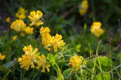 Цветок горной вершины Vulneraria стоковые изображения rf