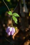 Цветок гороха бабочки в саде Стоковые Фото