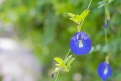 Цветок гороха бабочки в саде Стоковые Фотографии RF