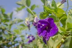 Цветок гороха бабочки на зеленой предпосылке Стоковое Фото
