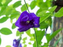 Цветок гороха бабочки Стоковые Изображения