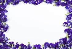 Цветок гороха бабочки Стоковое фото RF