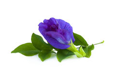 Цветок гороха или anchan цветки на белой предпосылке Стоковое Изображение RF
