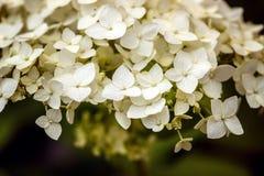 Цветок гортензии на лето предпосылки в саде Стоковые Изображения