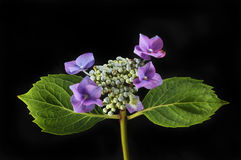 Цветок гортензии против черноты Стоковое Изображение RF