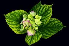 Цветок гортензии с зелеными листьями на черноте стоковое изображение rf