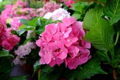 Цветок гортензии Стоковое фото RF