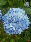 Цветок гортензии стоковое фото