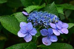 Цветок гортензии Стоковая Фотография