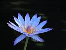 Цветок голубого лотоса стоковые изображения