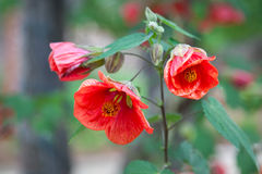 Цветок гранатового дерева в долине Калифорнии Sonoma Стоковое Фото