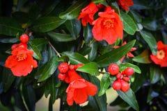 Цветок гранатового дерева в саде Стоковое Изображение