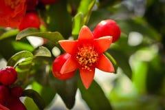 Цветок гранатового дерева в саде Стоковые Фотографии RF
