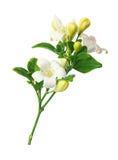 Цветок гранатового дерева горы Стоковая Фотография