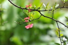 Цветок гранатового дерева Стоковая Фотография RF