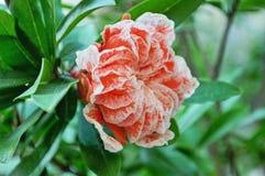 Цветок гранатового дерева Стоковое Фото