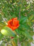 Цветок гранатового дерева Стоковая Фотография