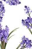 цветок граници bluebell Стоковые Изображения RF