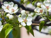 Цветок грушевого дерев дерева, Pyrus communis, конца-вверх на предпосылке bokeh, селективном фокусе, отмелом DOF Стоковое Изображение RF