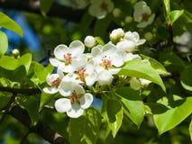Цветок грушевого дерев дерева, Pyrus communis, конца-вверх на предпосылке bokeh, селективном фокусе, отмелом DOF Стоковое Изображение