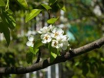 Цветок грушевого дерев дерева, Pyrus communis, конца-вверх на предпосылке bokeh, селективном фокусе, отмелом DOF Стоковые Изображения