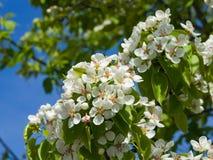 Цветок грушевого дерев дерева, Pyrus communis, конца-вверх на предпосылке bokeh, селективном фокусе, отмелом DOF Стоковые Изображения RF