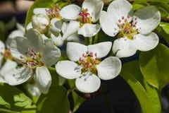 Цветок грушевого дерев дерева, Pyrus communis, конца-вверх на предпосылке bokeh, селективном фокусе, отмелом DOF Стоковая Фотография