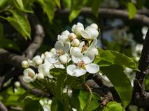 Цветок грушевого дерев дерева, Pyrus communis, конца-вверх на предпосылке bokeh, селективном фокусе, отмелом DOF Стоковые Фотографии RF