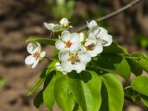 Цветок грушевого дерев дерева, Pyrus communis, конца-вверх на предпосылке bokeh, селективном фокусе, отмелом DOF Стоковая Фотография RF