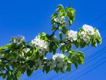 Цветок грушевого дерев дерева, Pyrus communis, конца-вверх против голубого неба, селективного фокуса, отмелого DOF Стоковые Изображения RF