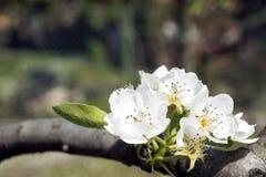 Цветок грушевого дерев дерева Стоковые Фотографии RF