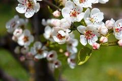 Цветок груши Стоковое Фото