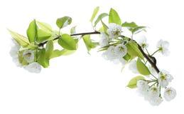 Цветок груши Стоковая Фотография RF