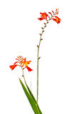 Цветок гладиолуса изолята на белой предпосылке Стоковое Фото