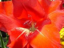 Цветок гладиолуса красный - макрос Стоковое Изображение RF