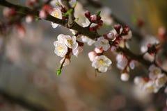 Цветок дерева абрикоса не зацветает никто стоковые изображения rf