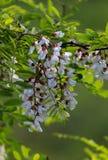 Цветок дерева акации ложный стоковые изображения
