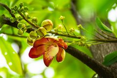 Цветок дерева пушечного ядра стоковое фото rf