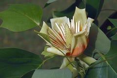 Цветок дерева тюльпана Стоковые Изображения RF