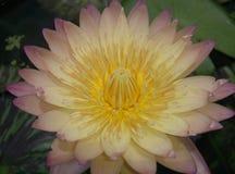 Цветок Дзэн желтого лотоса зацветая флористический Стоковые Изображения